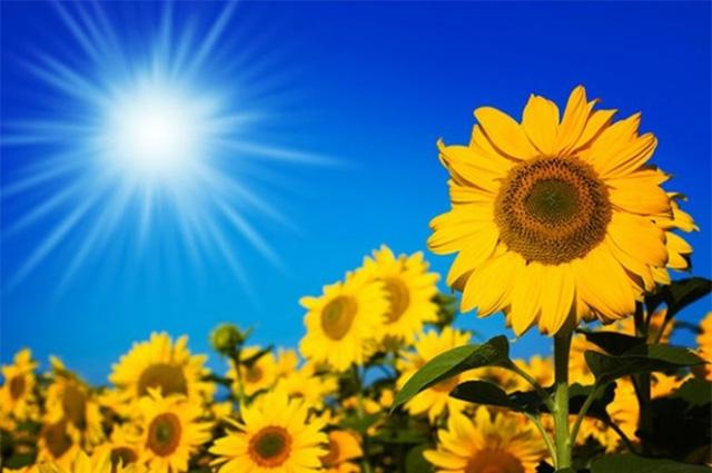 unnamed file 11 - Tả cây hoa mà em yêu thích (tả cây hoa hướng dương)